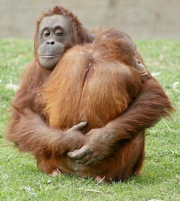penisuri de orangutan ce medicamente provoacă o erecție