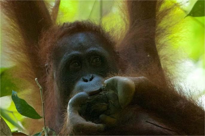 Robot interactiv Orangután Bluetooth Negru – CD Market