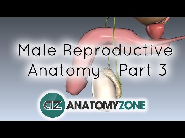 Mecanismul de producere al erectiei