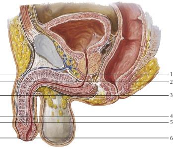 organ penis penis de ce dispare o erecție în timpul