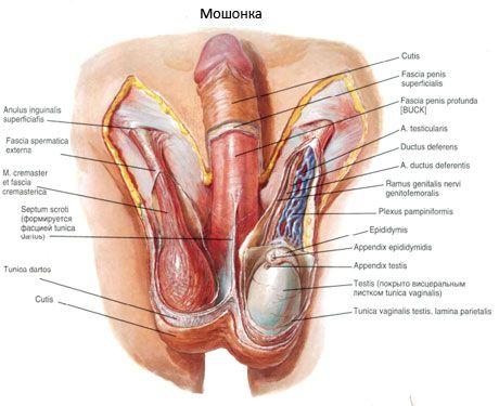 penisul masculin cum funcționează
