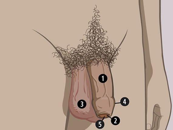 structura penisului porcului