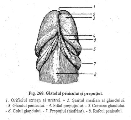 informatii despre penis