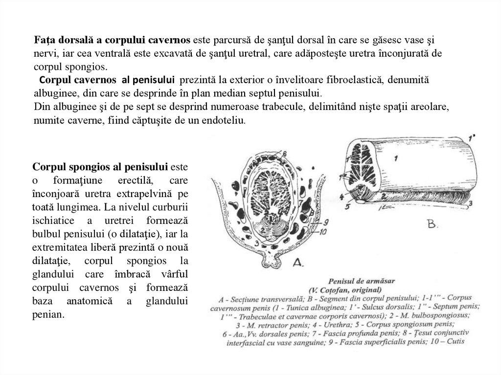 structura și tipurile de penis erecție la 55 de bărbați