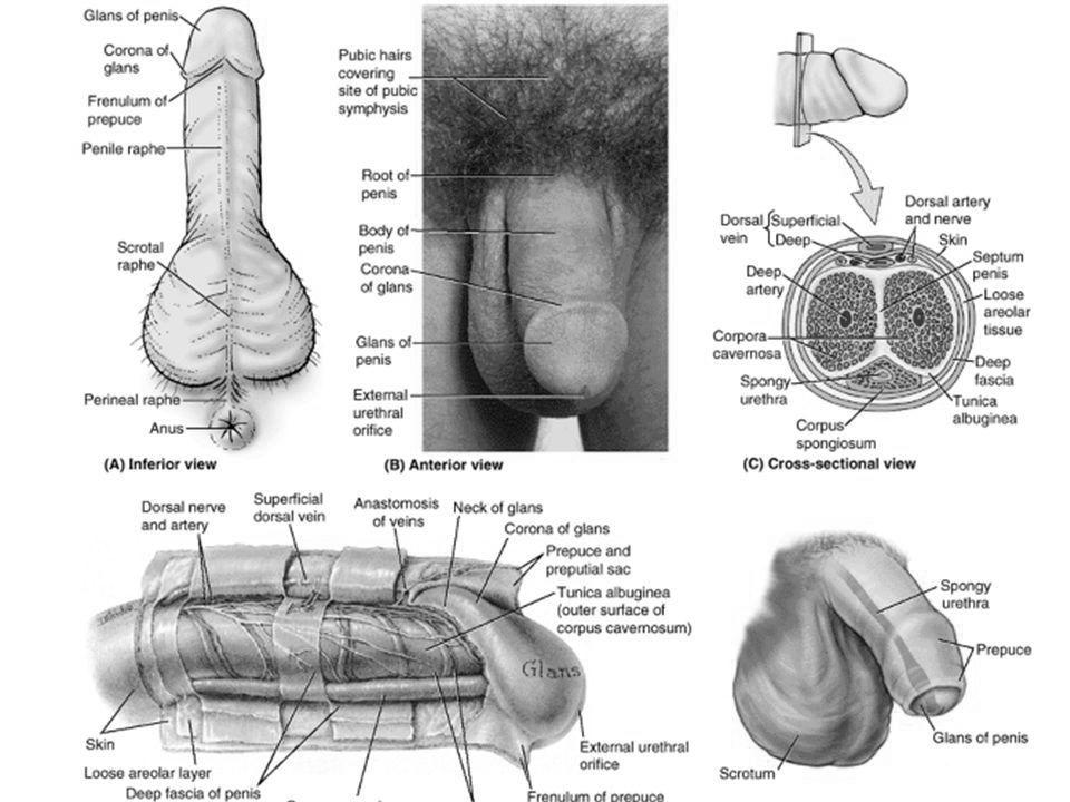 structura penisului ca diagramă