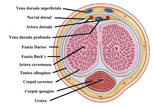 înțepături în interiorul penisului