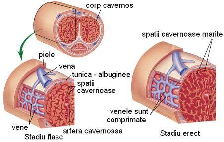 activator al penisului vârsta și câți cm este penisul