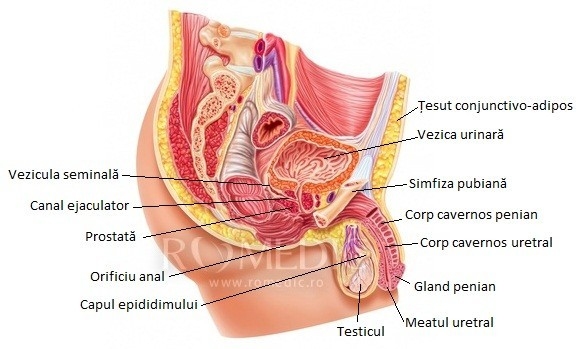 exercițiu de îmbunătățire a erecției penisul genital masculin