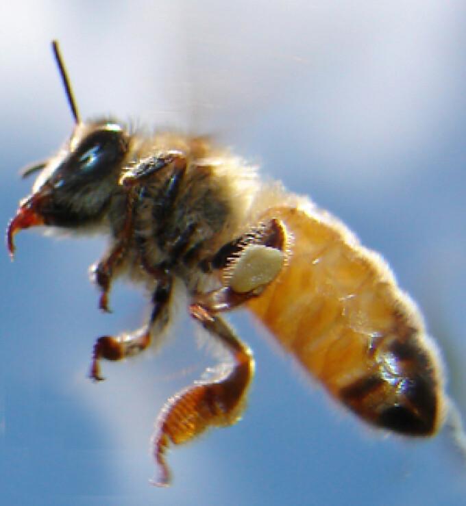 de ce albinele sunt puse pe penis