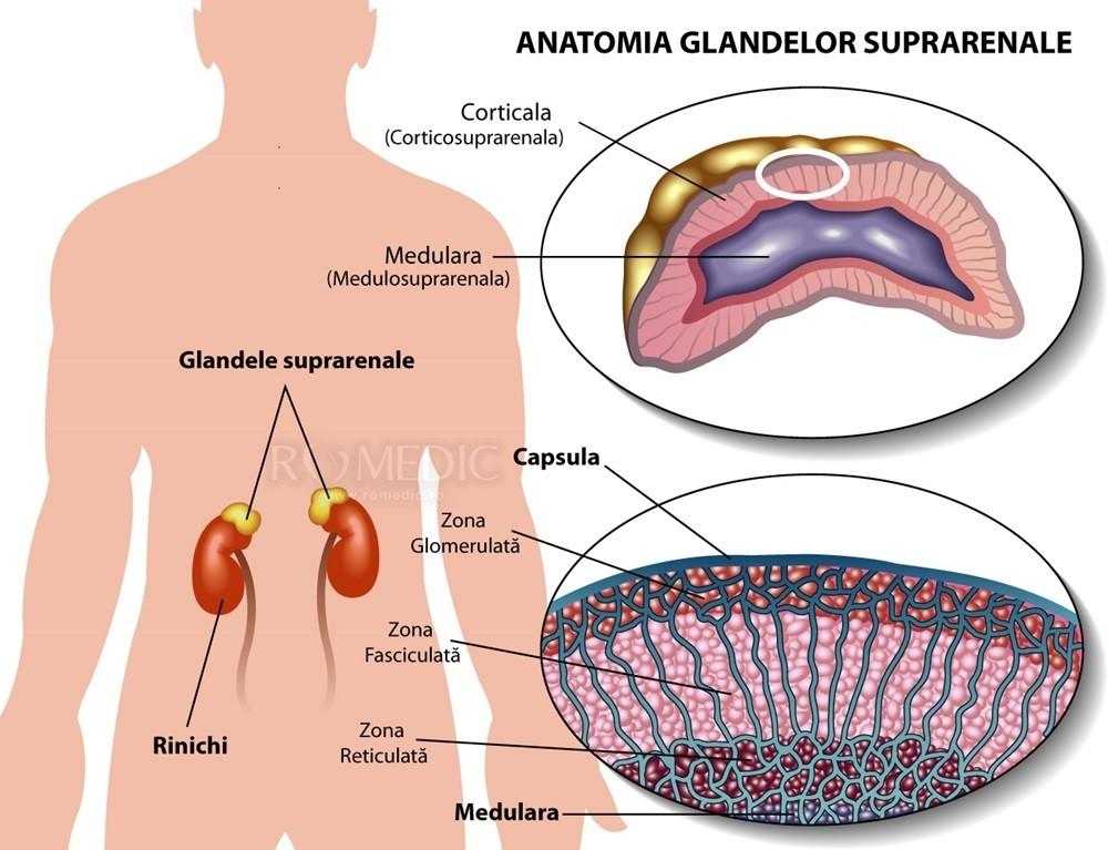 glanda suprarenală și erecție hrana pentru un penis