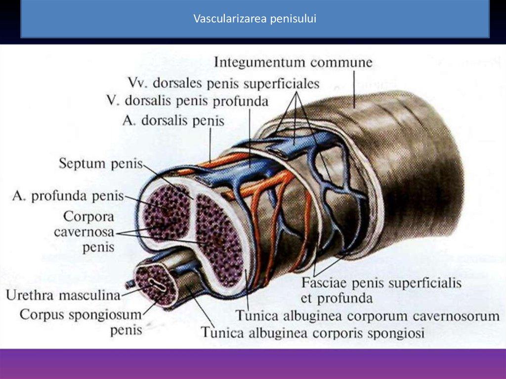 formarea la baza penisului