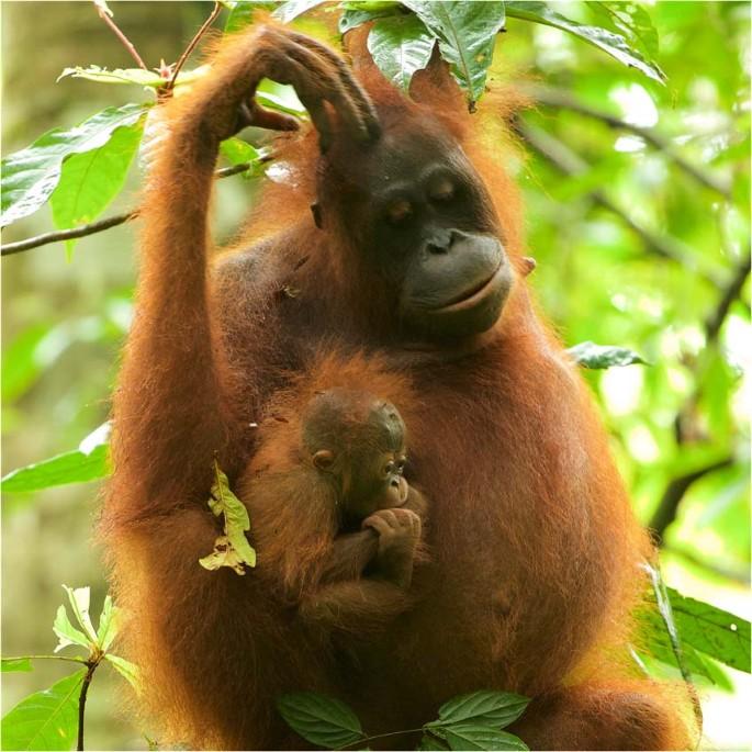 penisuri de orangutan penisul rupt