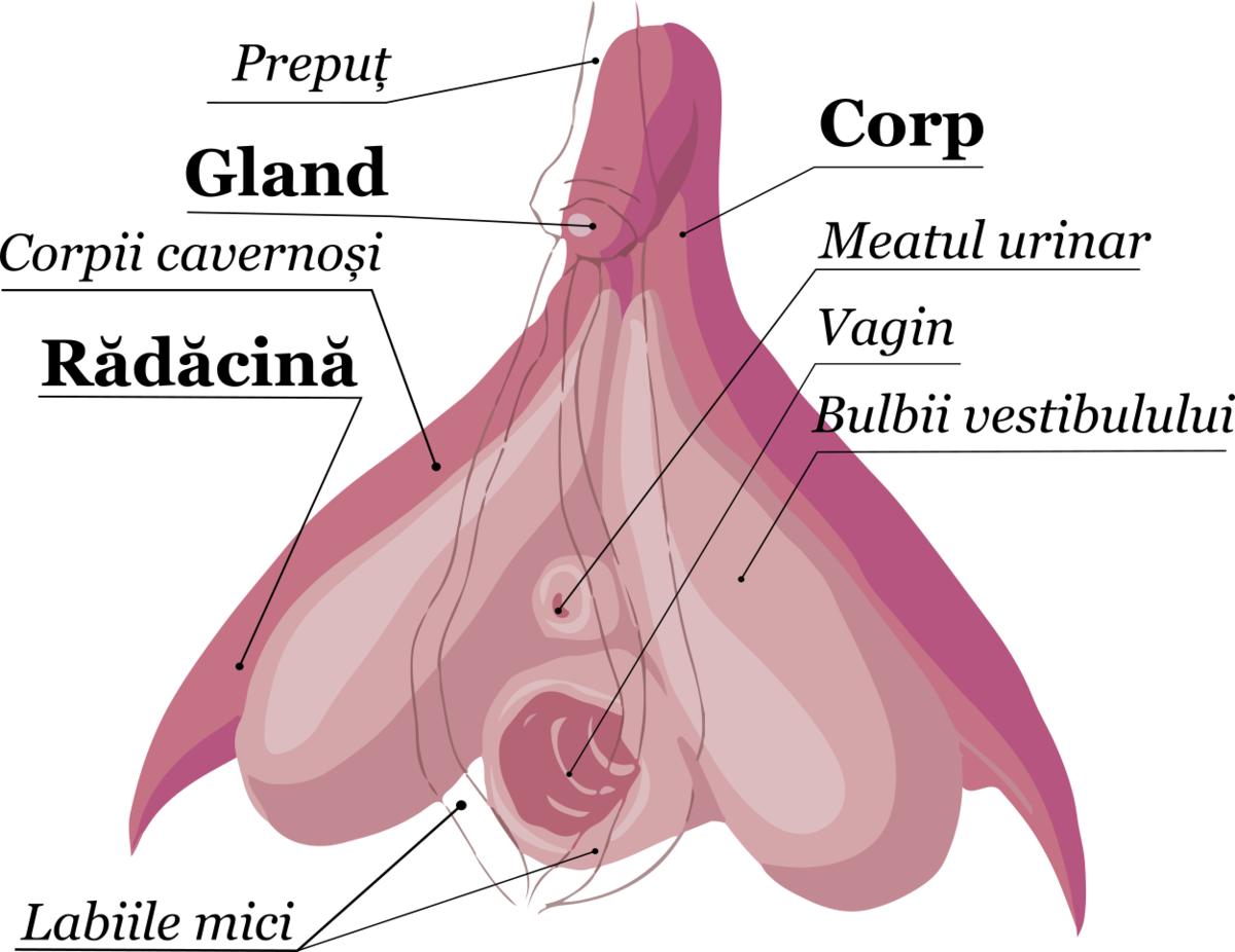 lungimea medie a penisului în erecție