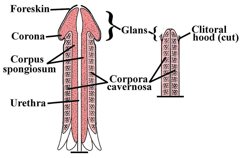 exerciții de întindere a penisului