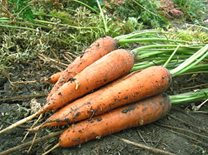forma penisului morcov