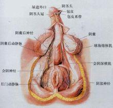 formarea penisului