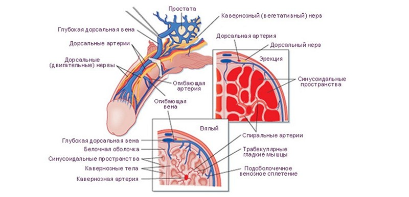 mecanism fiziologic de erecție