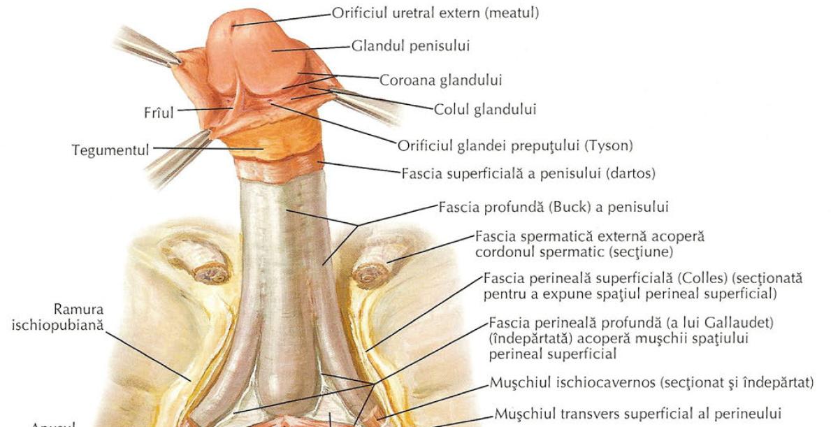 partea din spate a penisului