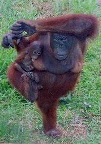 penisuri de orangutan ce trebuie făcut dacă nu există erecție în timpul