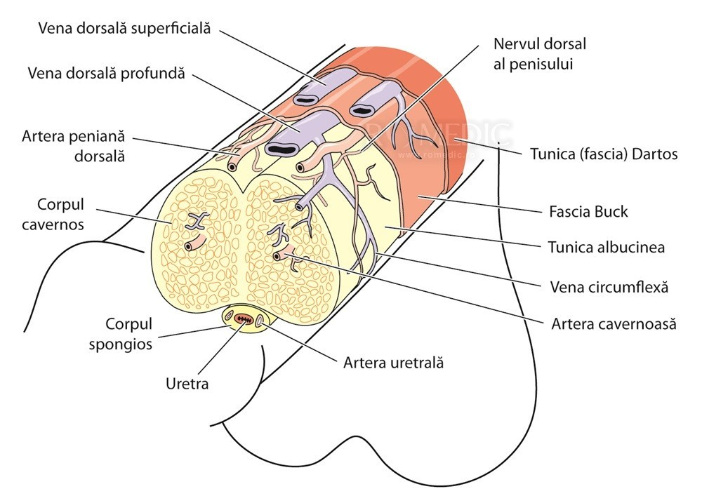 penisul genital masculin