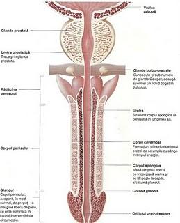 Tratamentul penisului curb sau al penisului deviat cu Phallosan.