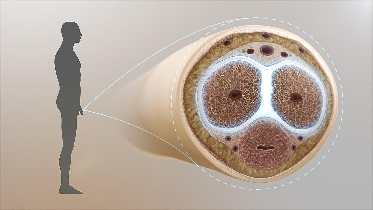 erecție externă balansoar și creșterea penisului