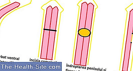 circumferința penisului în erecție