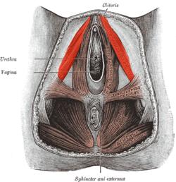 inserție în penis