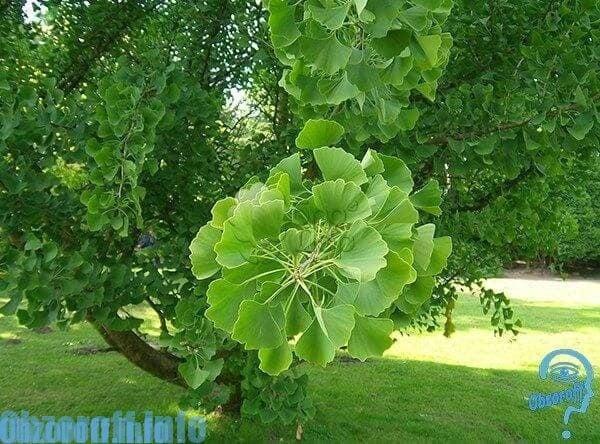 lemongrass pentru o erecție